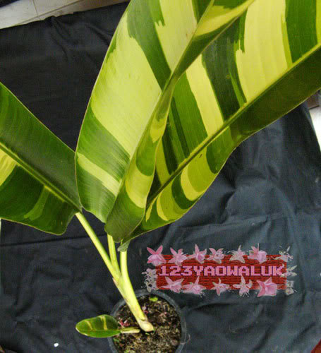 Heliconia variegated IMG_8651