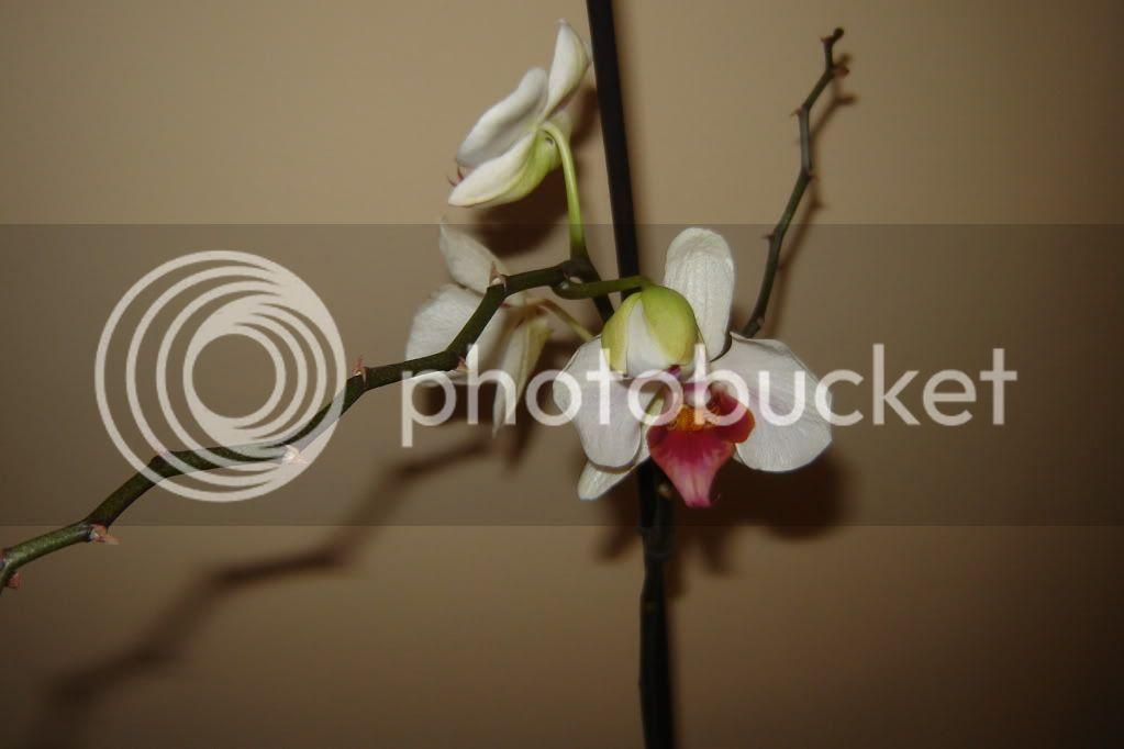 florile din apartament/gradina - Pagina 7 DSC08359