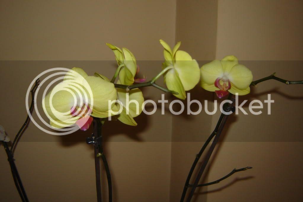 florile din apartament/gradina - Pagina 7 DSC08360