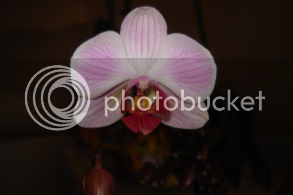 florile din apartament/gradina - Pagina 7 DSC08362