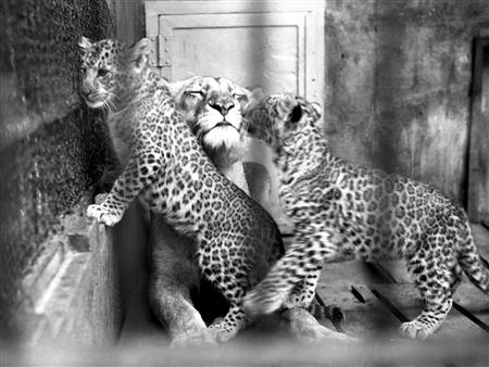 """Les félins panthera dits """"hybrides"""" - Page 3 Leoponscubswithmom"""