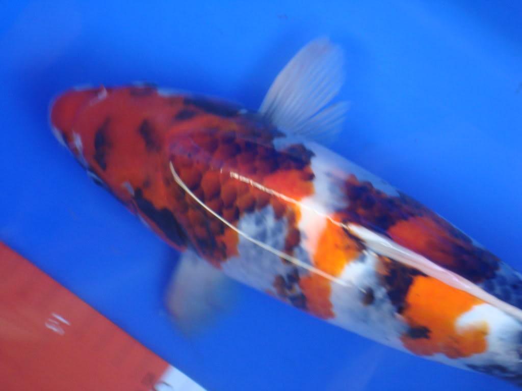 My Showa's fin - Page 2 DSC04505