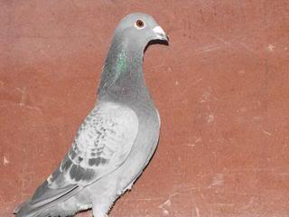 Racing Pigeons, Show & Fancy Pigeons - Portal Picture007-1