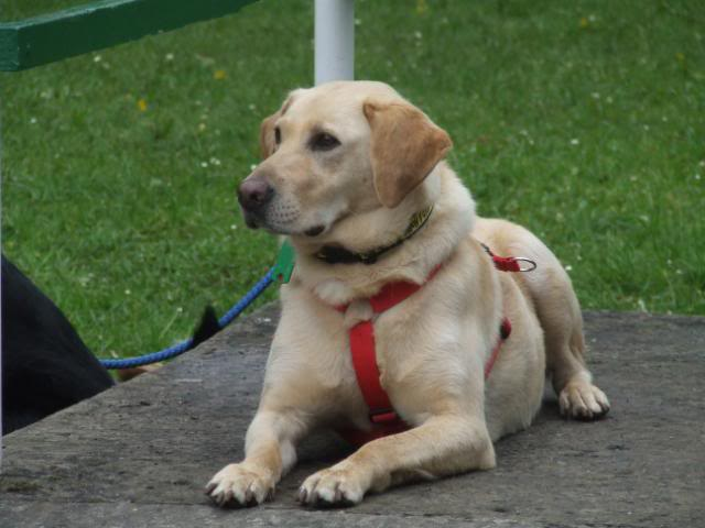 Holly a 5 yr old Yellow Labrador Fostered by Four Paws Animal Rescue (South Wales)  DSCF7769