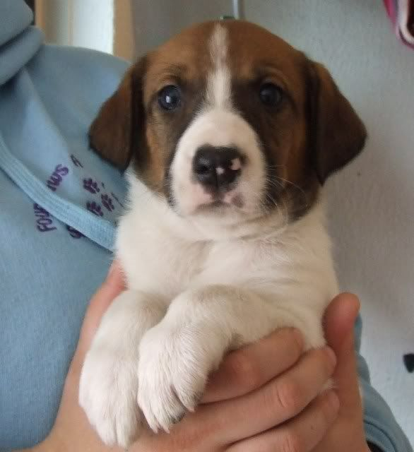 Dougal, Hound X puppy fostered by Four Paws Animal Rescue (South Wales)  DSCF7520