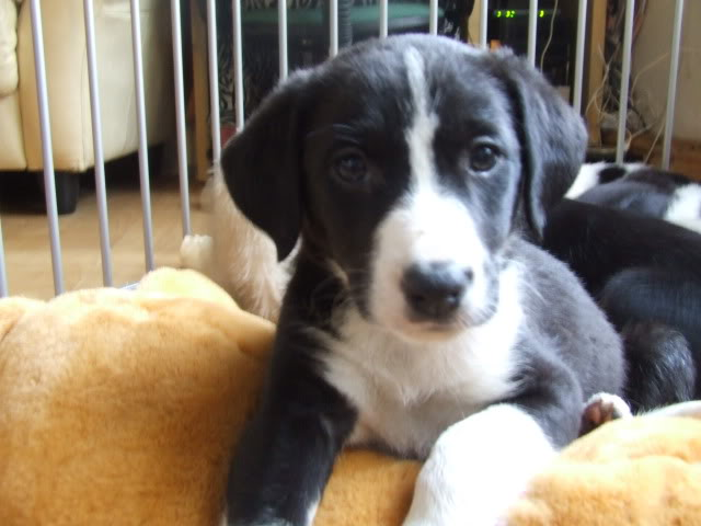 Leila, Hound X puppy fostered by Four Paws Animal Rescue (South Wales)  DSCF7665