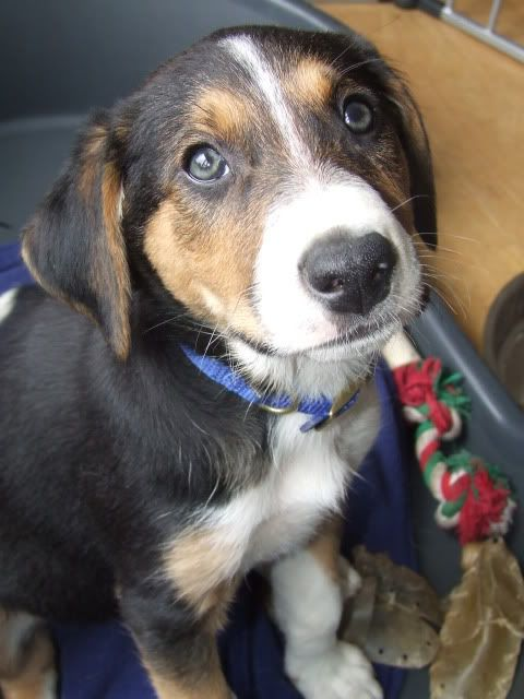 Murphy, Hound X puppy fostered by Four Paws Animal Rescue (South Wales)  DSCF7682