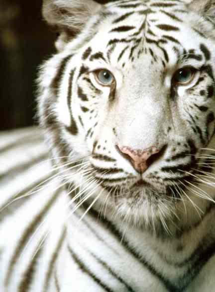 Big Cat - Kingdom in the clouds White-tiger