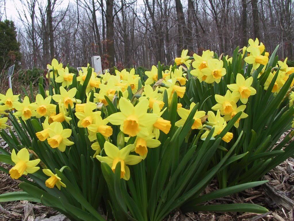 Mỗi tháng tượng trưng cho một loài hoa Daffodil