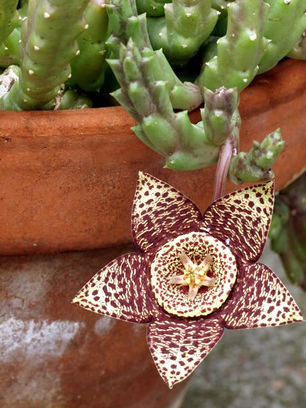 Euphorbia??? Euphorbia