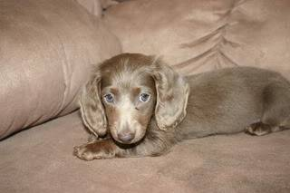 Isabella's Dachshunds033