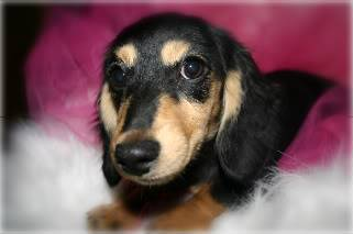 Black & tan/cream/solid dapples Dachshunds143
