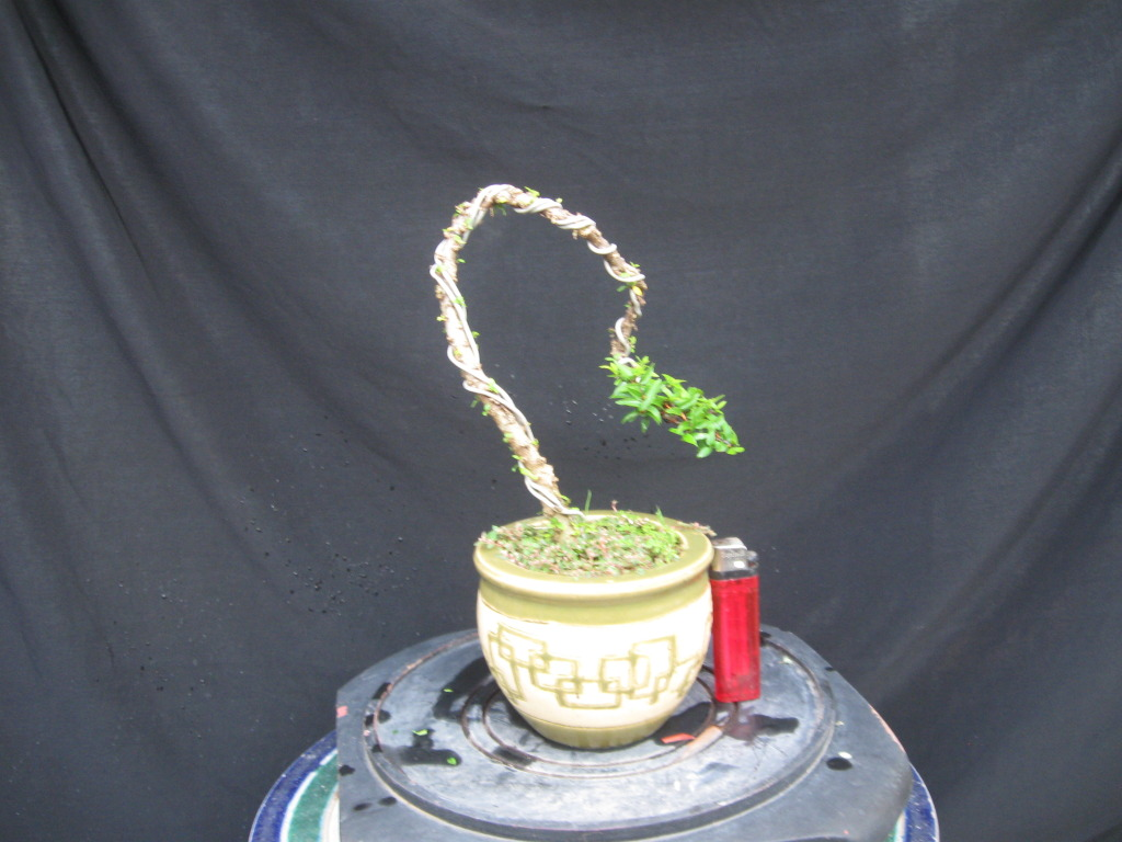 Bonsai mini as lady (Viet Nam) Cay7b