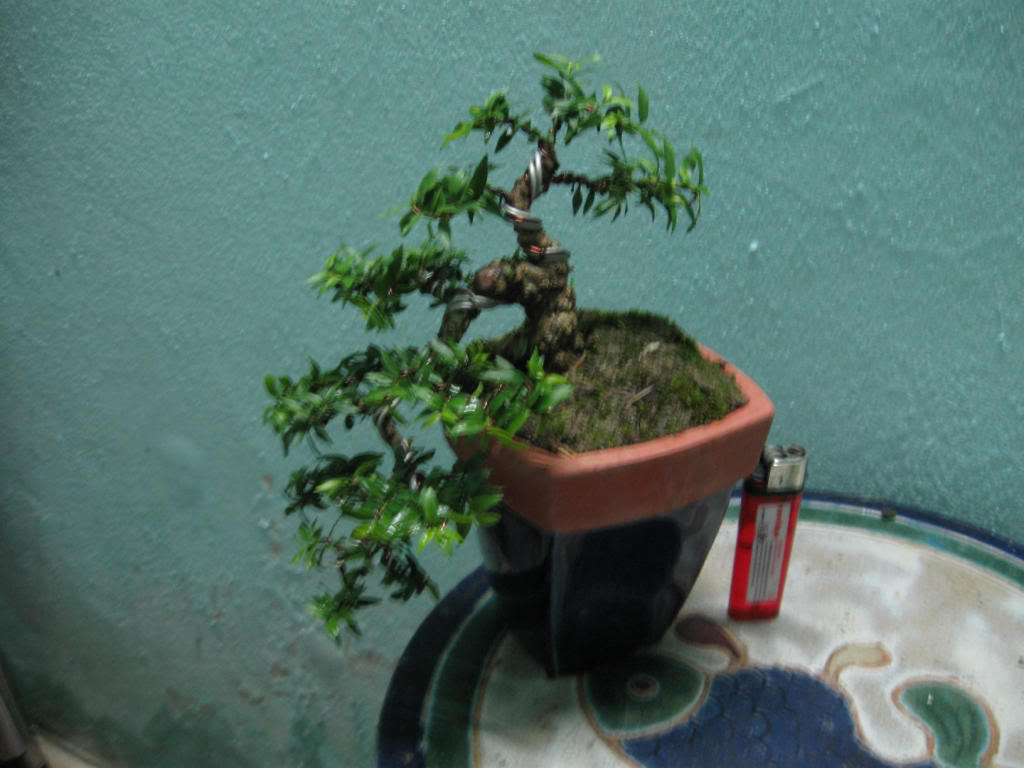 Bonsai mini as lady (Viet Nam) IMG_2791