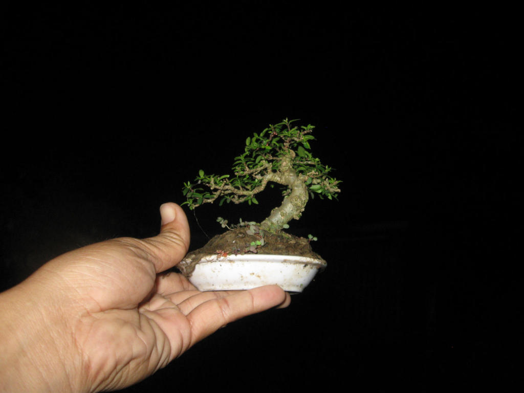 Bonsai mini as lady (Viet Nam) IMG_4147