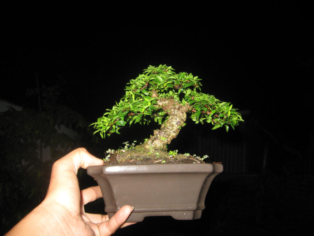 Bonsai mini as lady (Viet Nam) IMG_4160