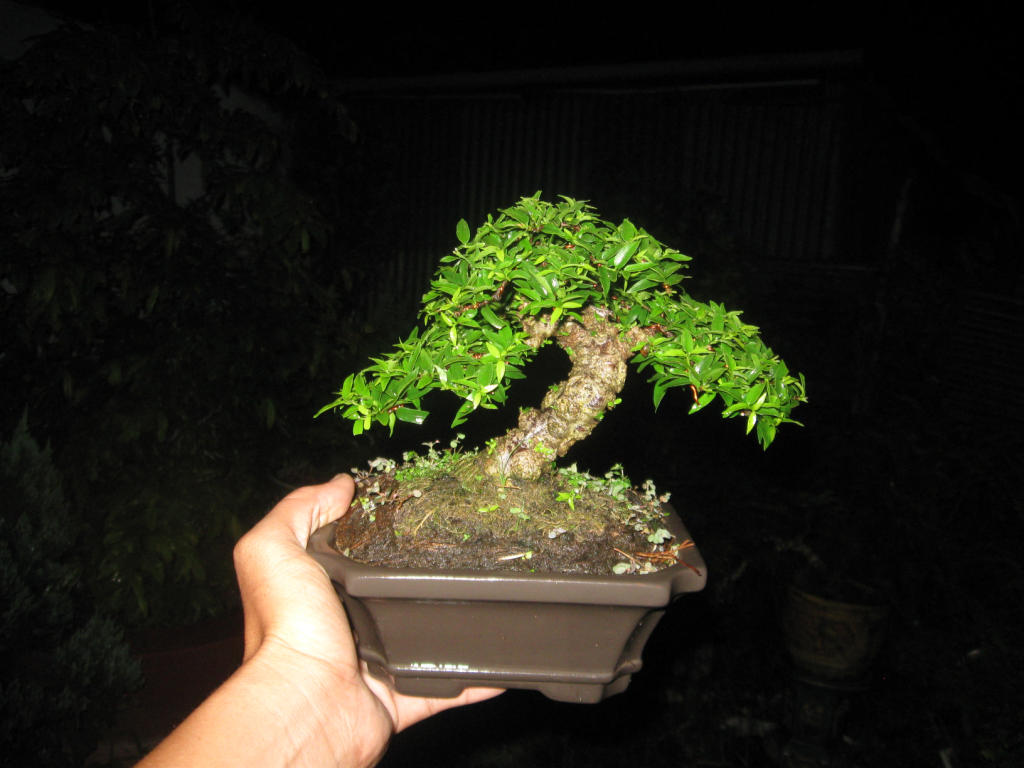Bonsai mini as lady (Viet Nam) IMG_4161
