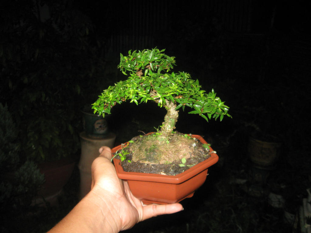 Bonsai mini as lady (Viet Nam) IMG_4162