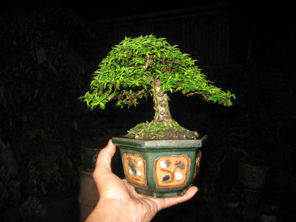 Bonsai mini as lady (Viet Nam) IMG_4164