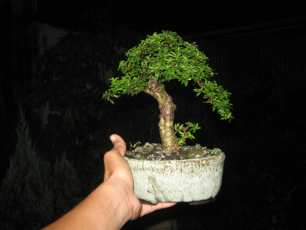 Bonsai mini as lady (Viet Nam) IMG_4168