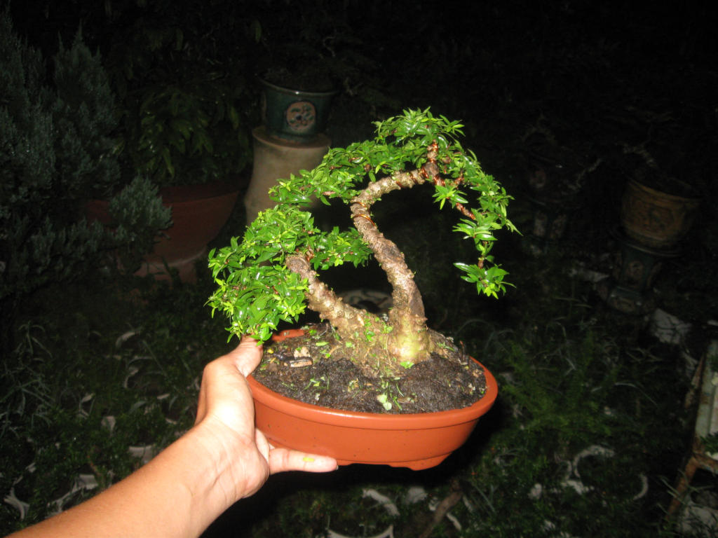 Bonsai mini as lady (Viet Nam) IMG_4173