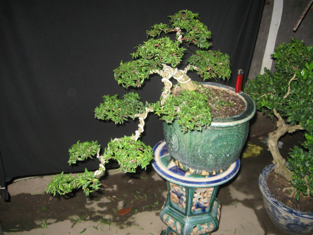 Bonsai mini as lady (Viet Nam) IMG_4283