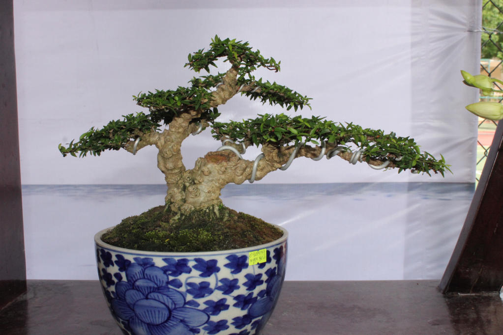 Bonsai mini as lady (Viet Nam) IMG_7948