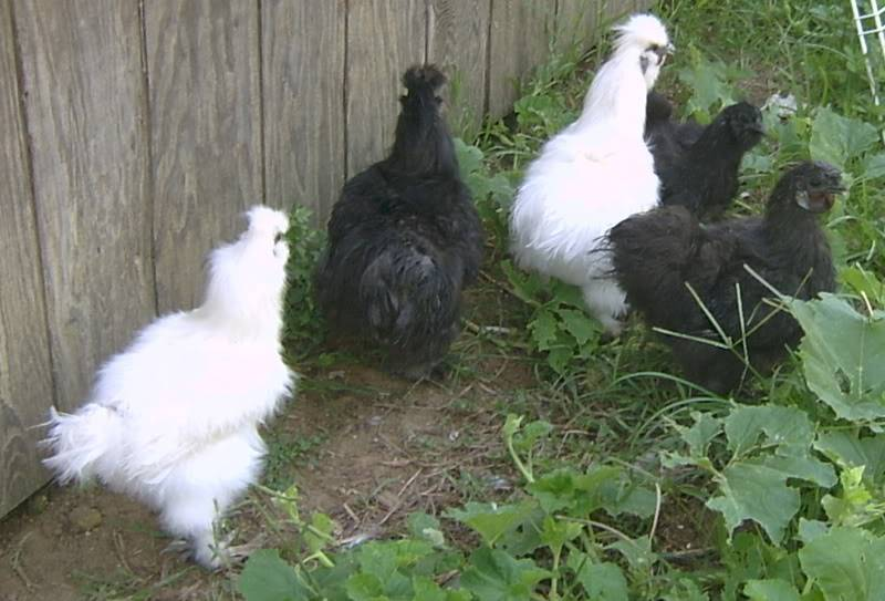 Housing Poultry SV300135