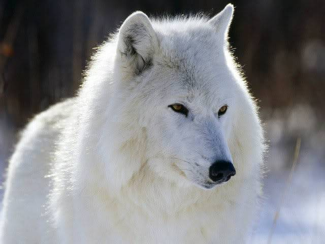 Back to the Beginning (open) Arctic-Wolf-Canada-05