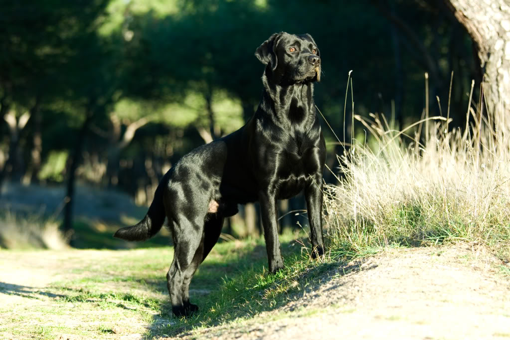 Fotos de Labradores Linux_ca-1