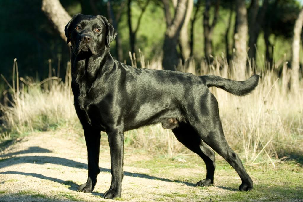 Fotos de Labradores Machote-1