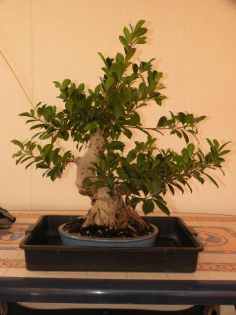 ayuda mi bonsai se muere :C respondan rapido - Página 2 DSCN0466