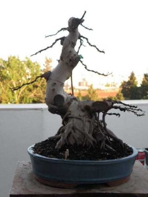 ayuda mi bonsai se muere :C respondan rapido - Página 2 DSCN0476