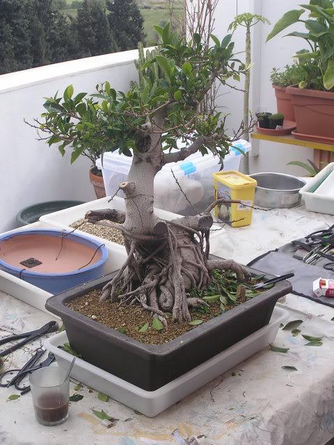 ayuda mi bonsai se muere :C respondan rapido - Página 2 P1010037