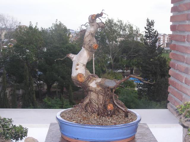ayuda mi bonsai se muere :C respondan rapido - Página 2 P1010040