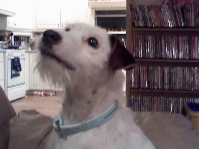 Daisy Duke & Dolly Spartan, Jack Russell Terrors 0408082025