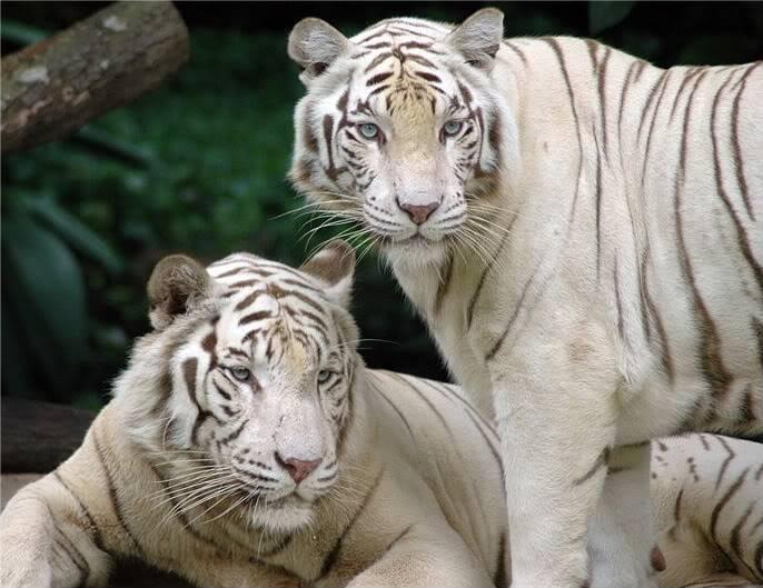 Aurora's Place -Singapore_Zoo_Tigers-1
