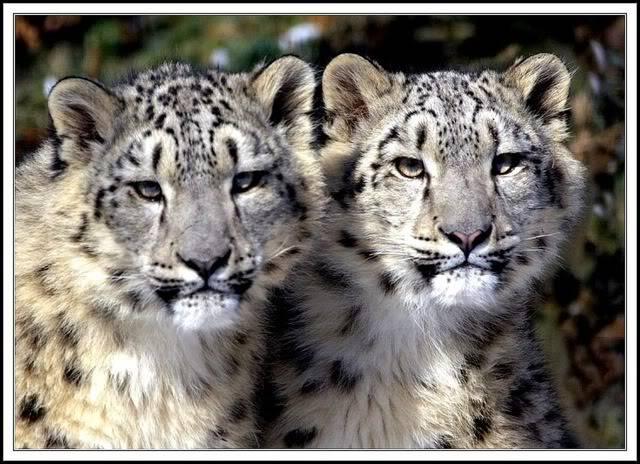 Aurora's Place SnowLeopards