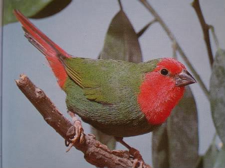 crvenoglava papagaj amadina P4240035