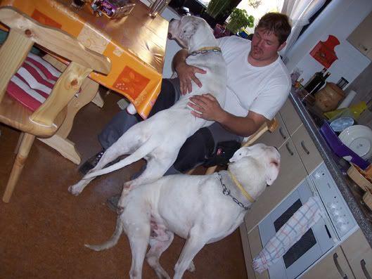 Aira et Arox deux dogos a adopter ensemble - Forbach Bild069