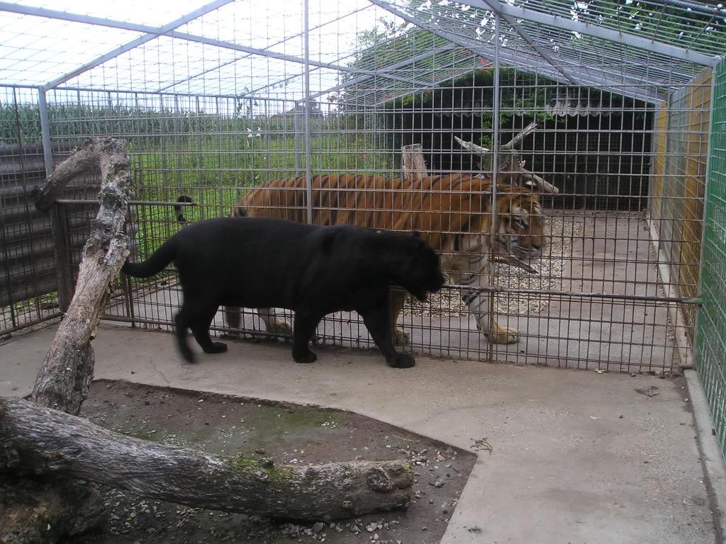 Jaguar Pantaneiro VS Leoa do Serengeti 3221765