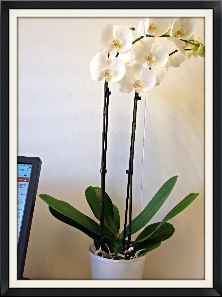 Орхидея в квартире - Страница 5 728FA9D9-E47D-48FD-9983-7E816431FF96_zpsaiqmzuii