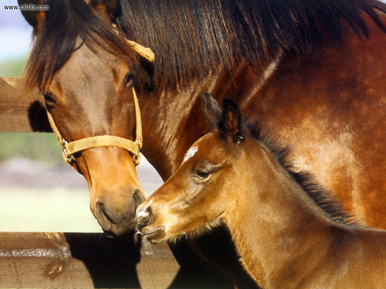Horse | 馬 | Ngựa S4wQuarterHorses007