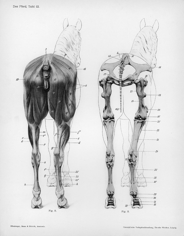 Horse | 馬 | Ngựa Horse_anatomy_posterior_view