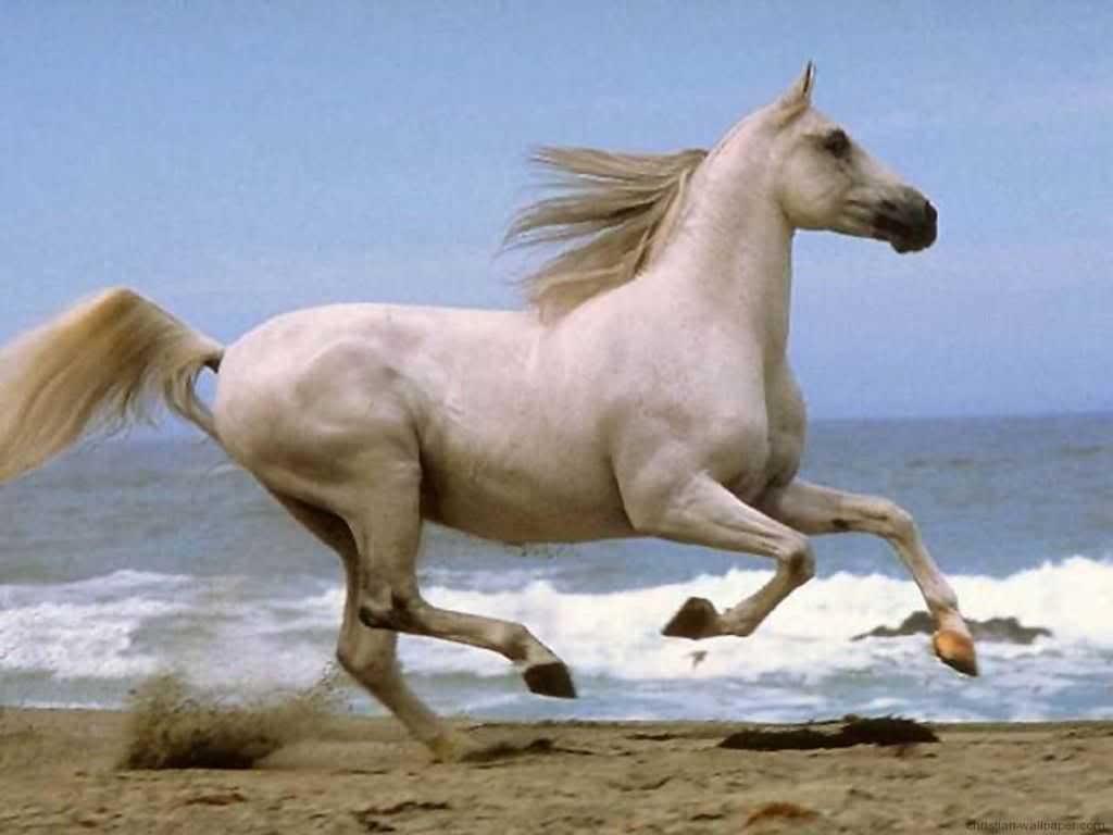 Horse | 馬 | Ngựa Horse-running-beach