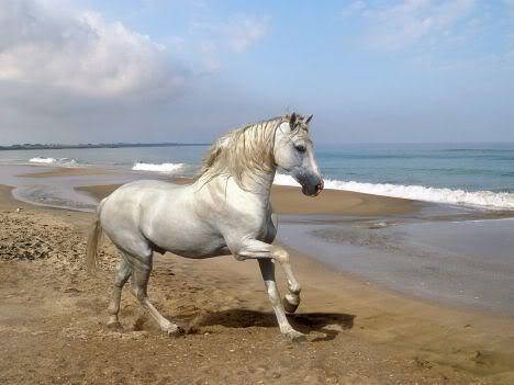 Horse | 馬 | Ngựa White-horse-on-beach