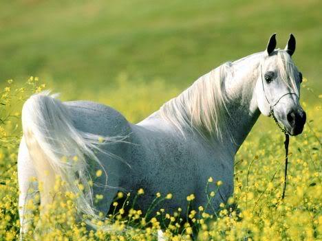 Horse | 馬 | Ngựa White_horse-1268