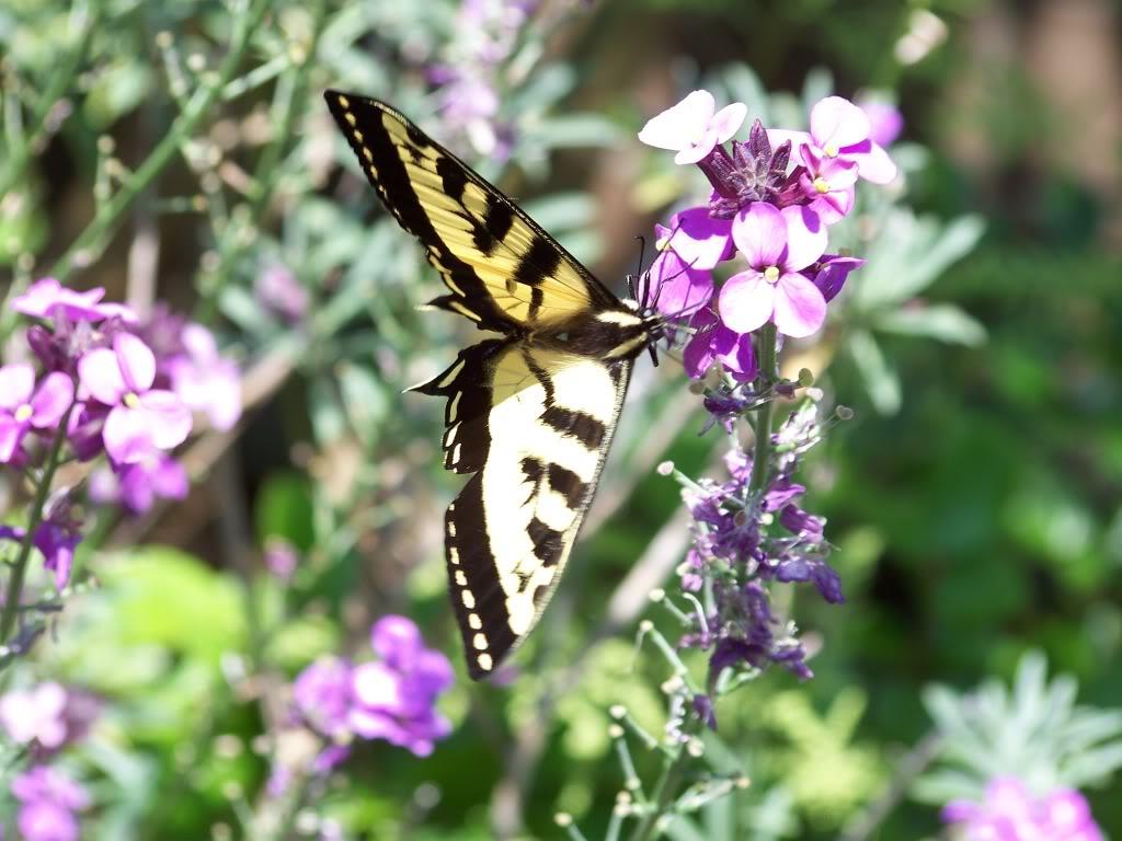 Npauj Npaim Lub Neej Butterfly