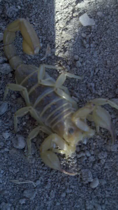 Giant Desert Hairy Scorpion? S3
