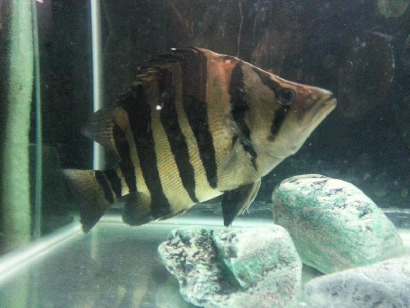 Indo tiger utk dijual (SOLD) 2014-08-26111837